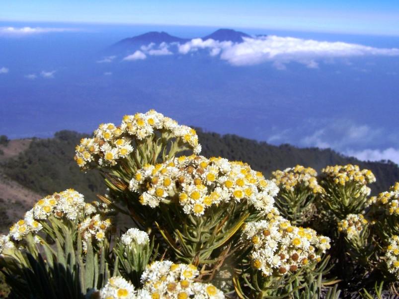 Bunga Edelweis Si Cantik Yang Dilindungi Undang Undang